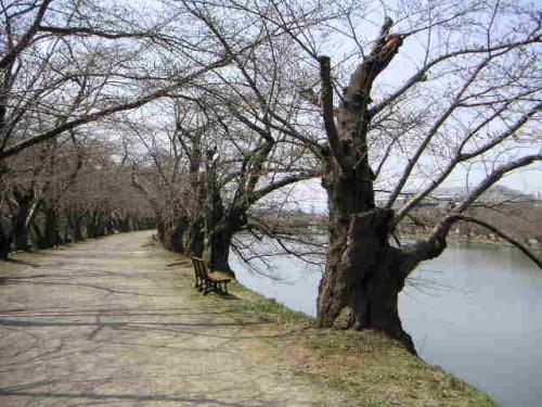 サクラの「木」を鑑賞