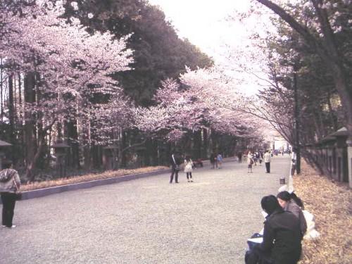 神宮参道のさくら