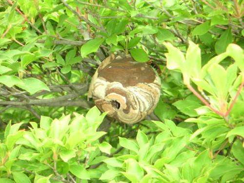 庭のハチの巣