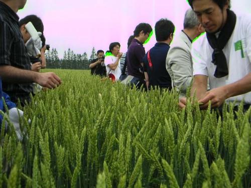 麦畑の中で