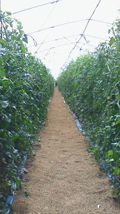 金丸農園ミニトマト