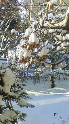 柿の実に新雪