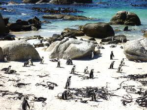 Simon's Townのアフリカペンギン