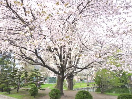 道庁前庭のさくらが満開、八重桜はまだつぼみ