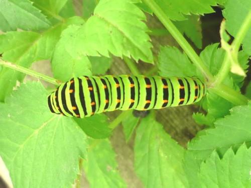 庭で元気な青虫です!