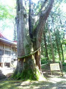 八幡宮境内:杉の巨大な御神木