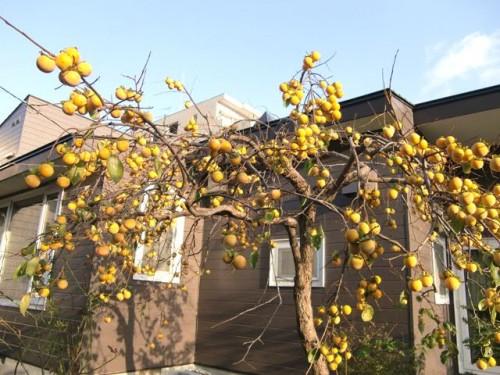 家の庭の柿の実、今年は200個以上なりました!