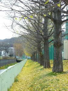 札西高横のイチョウ並木