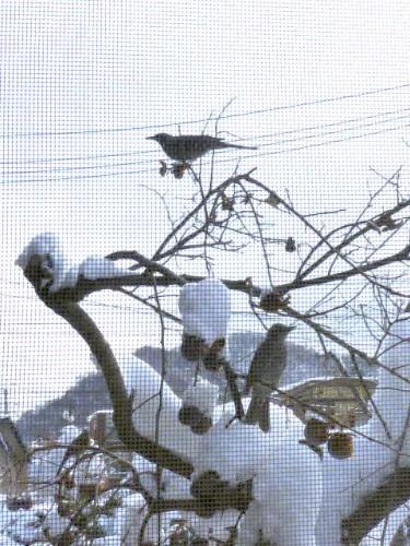 熟した柿の実を食べに鳥たちが