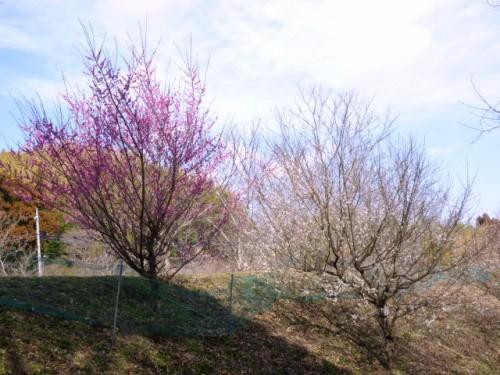 亀山湖畔の紅梅・白梅