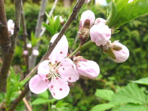 庭の桃の木にやっと花が咲きました!