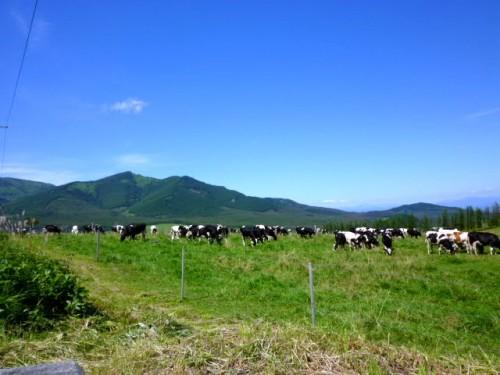 酪農王国:牧草を食む乳牛