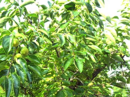 柿の木:去年は200個以上の実でしたが、今年は数個かも?