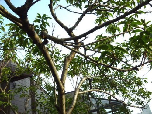 桃の木:今年は実がゼロ?