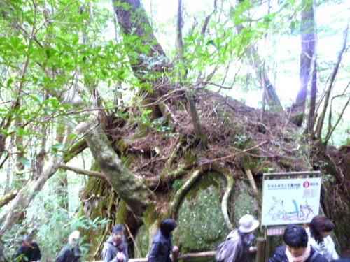 岩を抱く杉