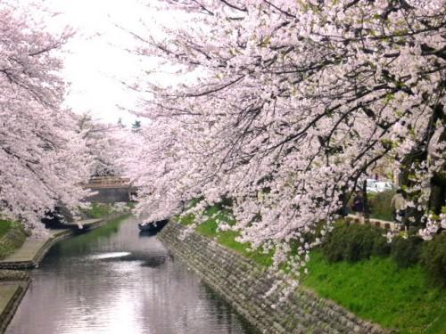 市内・松川河畔の桜並木