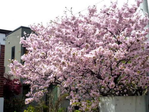 札幌市中央区の住宅地で(5月10日)