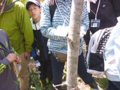 植林したエゾエノキに生育するオオムラサキの幼虫(こげ茶色)