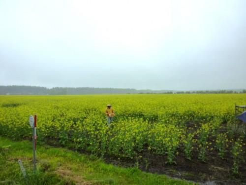 一面の菜種畑