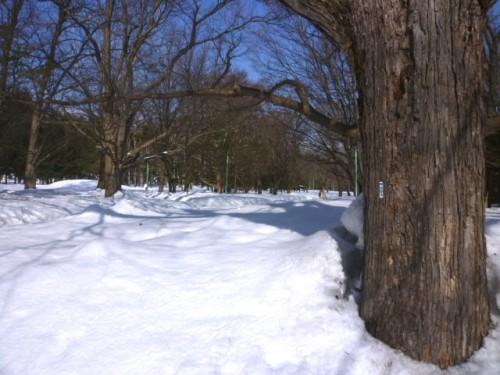 円山公園、まだまだ1mくらいの積雪