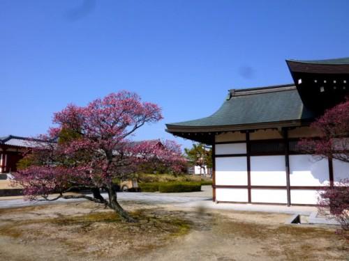 薬師寺境内の梅も満開