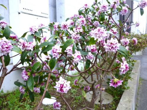 道沿いに可憐に咲く沈丁花