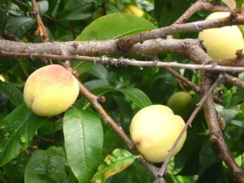 桃の実も今年はたくさん