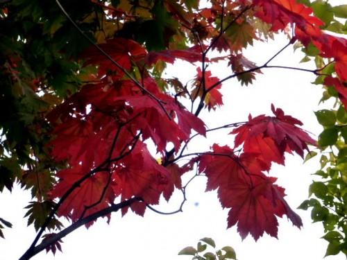 名月カエデも紅葉が始まり
