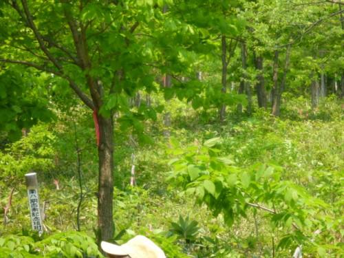 植林したエゾエノキも順調な生育