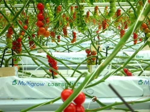 嬉し野アグリさんのミニトマト工場