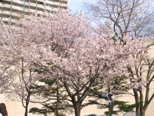 3日は中島公園、満開!!
