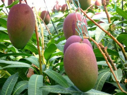 温室内はマンゴーの実がたくさん!