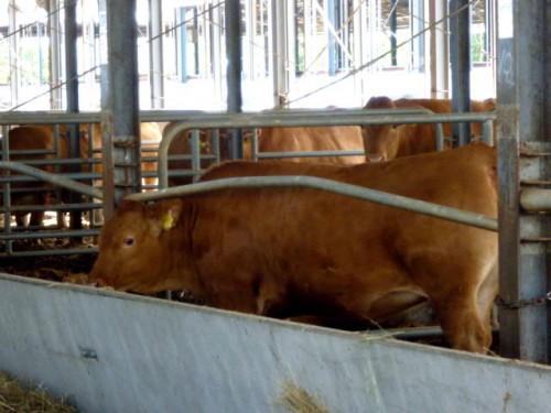 新しい赤毛和牛のジャンルで勝負
