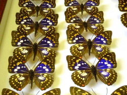日本の国蝶「オオムラサキ」