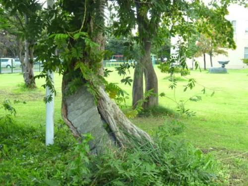 伝統の藤棚も健在