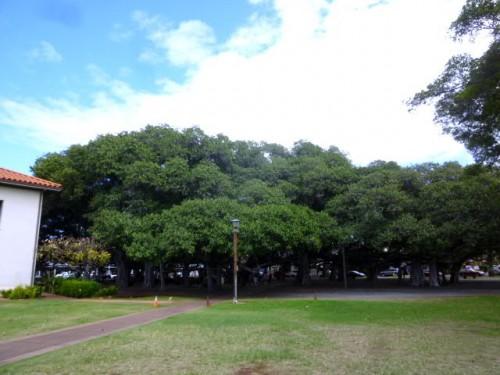 ラハイナ中央のバンヤンツリー