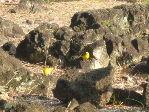鮮やかな黄色の小鳥(ハワイ島ヒロ)