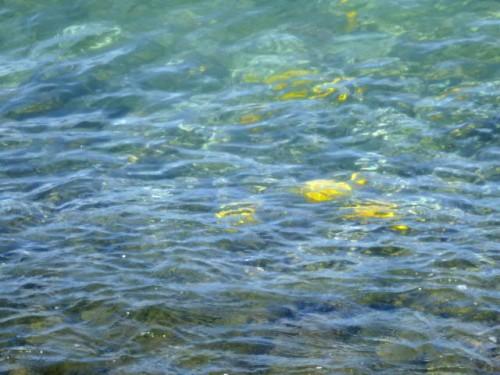 鮮やかな黄色の魚(ハワイ島コナ)