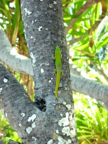 鮮やかな黄緑のヤモリ(ハワイ島コナ)