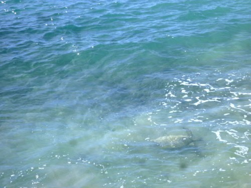 カメ(ハワイ島コナ)