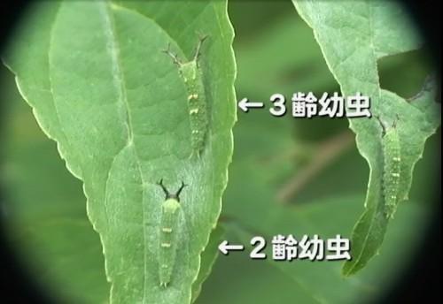 世代の違う幼虫