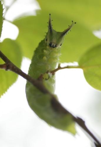 札南飼育舎の幼虫