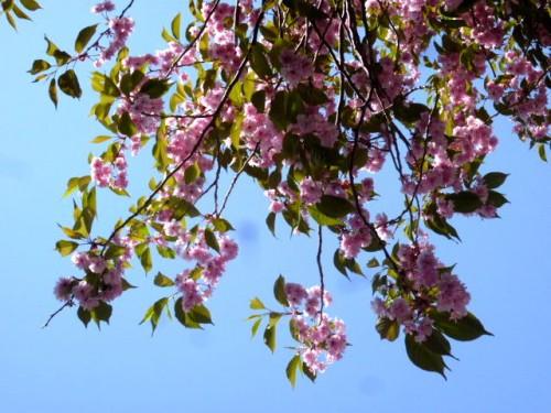 遅咲きのサクラ