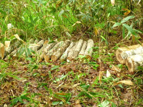 シイタケのほだ木も本伏せ
