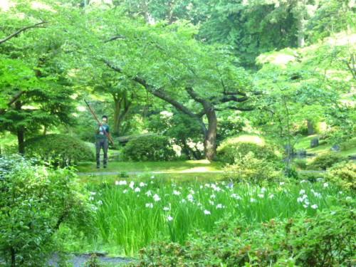 明治神宮からの菖蒲、庭園メインテナンスも大変です