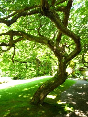 森先生が持ってきたサクラ「タキニオイ」樹齢80年