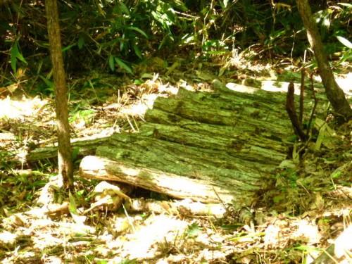 シイタケの榾木周辺の陽当たりも良くなり