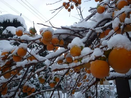 庭の柿木に雪