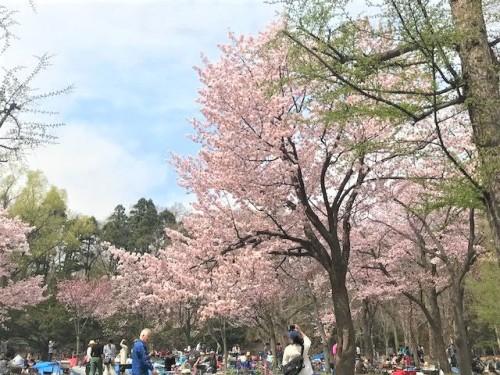 円山公園ではお花見の人、人、人