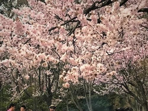 サクラ、札幌円山公園4月29日